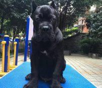 石家庄纯种卡斯罗幼犬价格图片
