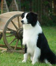 南京边境牧羊犬领养
