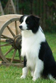 杭州边境牧羊犬领养
