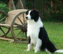 南昌哪有宠物店出售边境牧羊犬