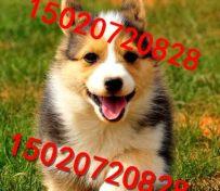 纯种的柯基犬幼犬价格怎么卖的