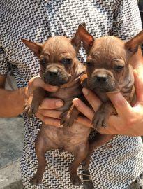 重庆川东猎犬养殖基地