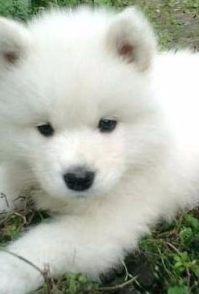 南昌养殖基地直销萨摩犬及其它幼犬 签协议 送用品