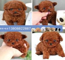 广州泰迪熊狗场 广州出售茶杯泰迪熊犬 哪里有卖泰迪