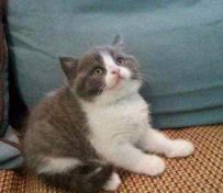 南通英短蓝猫 渐层 蓝白 美