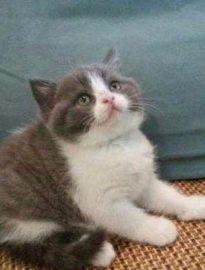 南通英短蓝猫 渐层 蓝白 美短虎斑 起司 折耳(包