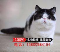 猫舍出售加菲猫幼猫活体宠物猫