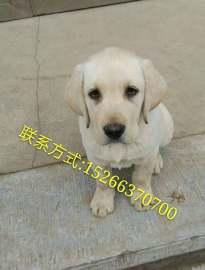 拉布拉多专业养殖 拉布拉多纯血统 +vx看狗狗