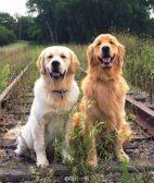 金毛寻回犬的缺点 金毛寻回犬喜欢黏着主人