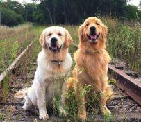 金毛寻回犬的缺点 金毛寻回犬