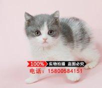 英国短毛猫蓝白 纯种 幼猫宠