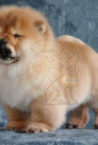 广州纯种松狮犬 高品质繁殖 首选广东暮光狗场