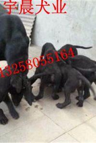 2-3个月黑狼犬幼犬价格是多少几个月黑狼犬好喂养