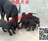 2-3个月黑狼犬幼犬价格是多