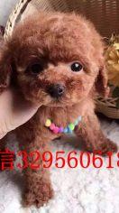 (优惠)小型犬茶杯泰迪贵宾犬出售 包纯种健康