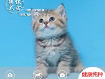 猫舍品种英短金渐层