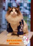 出售布偶猫 金吉拉 折耳猫 短毛猫 英短美短 加菲