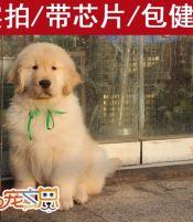 赛级金毛犬