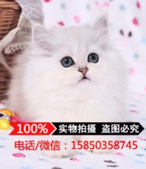 CFA猫舍出售纯种金吉拉猫 长毛猫 宠物猫 幼猫