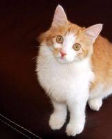 土耳其安哥拉猫