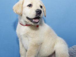 出售三个月拉布拉多幼犬品相好