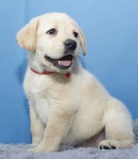 本地犬舍出售纯种拉布拉多幼犬质保三年签署协议