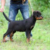 罗威纳防暴犬