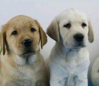 西安狗狗之家长期出售高品质拉