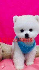 (优惠)小型茶杯犬博美幼犬 俊介犬出售 包纯种健康