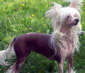 南京哪里有卖冠毛犬