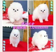 广州哪里买球体型博美犬 广州白色博美多少钱一只