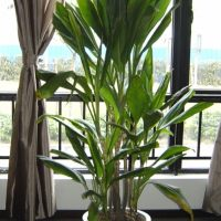 办公室里放的植物青铁