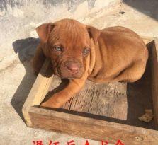 三个月比特幼犬出售
