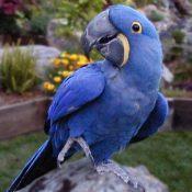 紫蓝金刚鹦鹉1