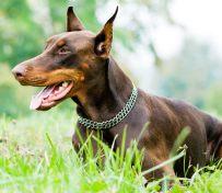 成都正规犬舍直销国际名犬 包
