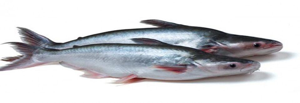 巴沙鱼,又名猫鱼,巴町,英文名称:BASA,BASSA,PangAsius,国内又名龙利鱼是东南亚国家重要的淡水养殖品种,主产于越南湄公河流域。它属鲶形目鱼类,为无鳞鱼。外形与我国珠江水系产的白骨鱼极为相似。该鱼个体大,生长快,食性广,抗病力强,产量高。巴沙鱼喜群集,常活动于上中水层,杂食性,可投喂人工配合饲料,喂食时能游至水面吃食。