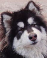 大白熊犬排名 世界犬类智商排名第64位