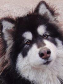武汉养殖基地直销阿拉斯加犬及其它幼犬 签协议 送用