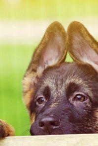 哈士奇幼犬认人么 哈士奇还是认人的