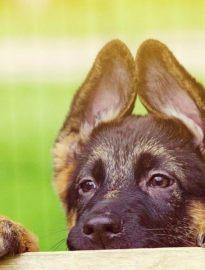 武汉养殖基地直销德国牧羊犬及其它幼犬 签协议 送用