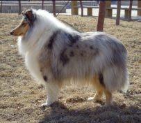 东莞宠物专卖店出售苏格兰牧羊