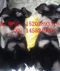 重庆哪里有雪纳瑞犬卖 重庆的雪纳瑞好多钱