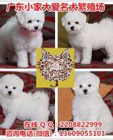 广州卖比熊犬