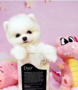 重庆本地出售博美犬 上门700一只 包健康 包纯种 当面挑选