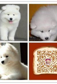 时尚萌宠十多年的养殖经验 养殖纯种萨摩耶幼犬