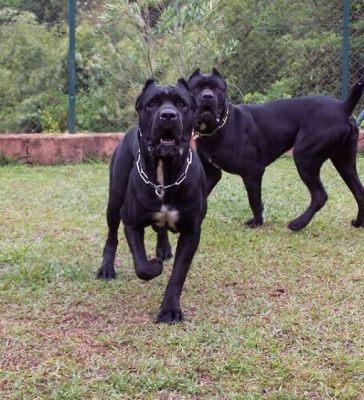 卡斯罗幼犬