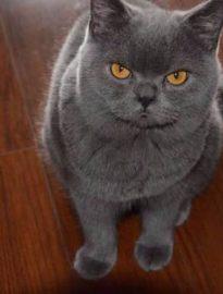 遵义英短蓝猫 渐层 蓝白 美短虎斑 起司 折耳(包纯种健康)