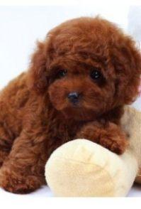 杭州实体店出售狗狗 纯种泰迪及各类品种 上门挑选包健康包退换