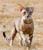 暹罗猫能长多大 一般情况下的体型