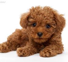 天河区哪里有卖宠物狗 天河区哪里有卖泰迪熊 宠物狗狗场